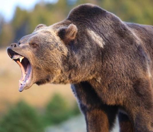 medvetámadás