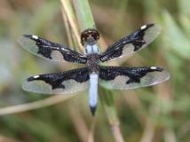Odonata IMG_0684