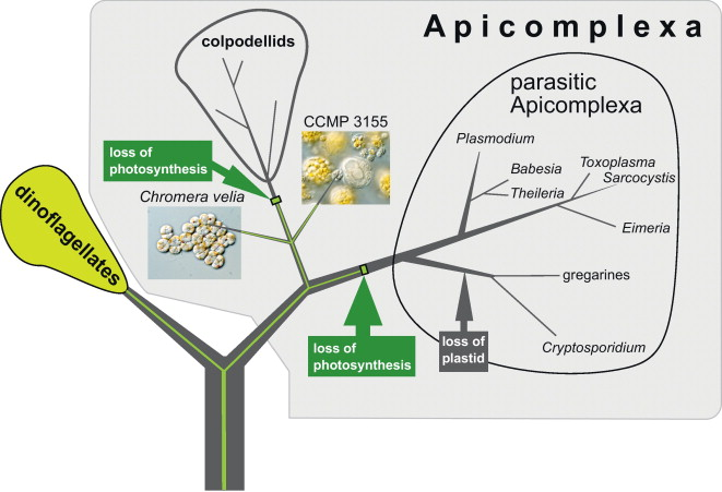 Image from Obornik et al., 2012, Protist 163(2):306-323