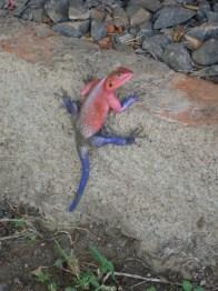 An African lizard.