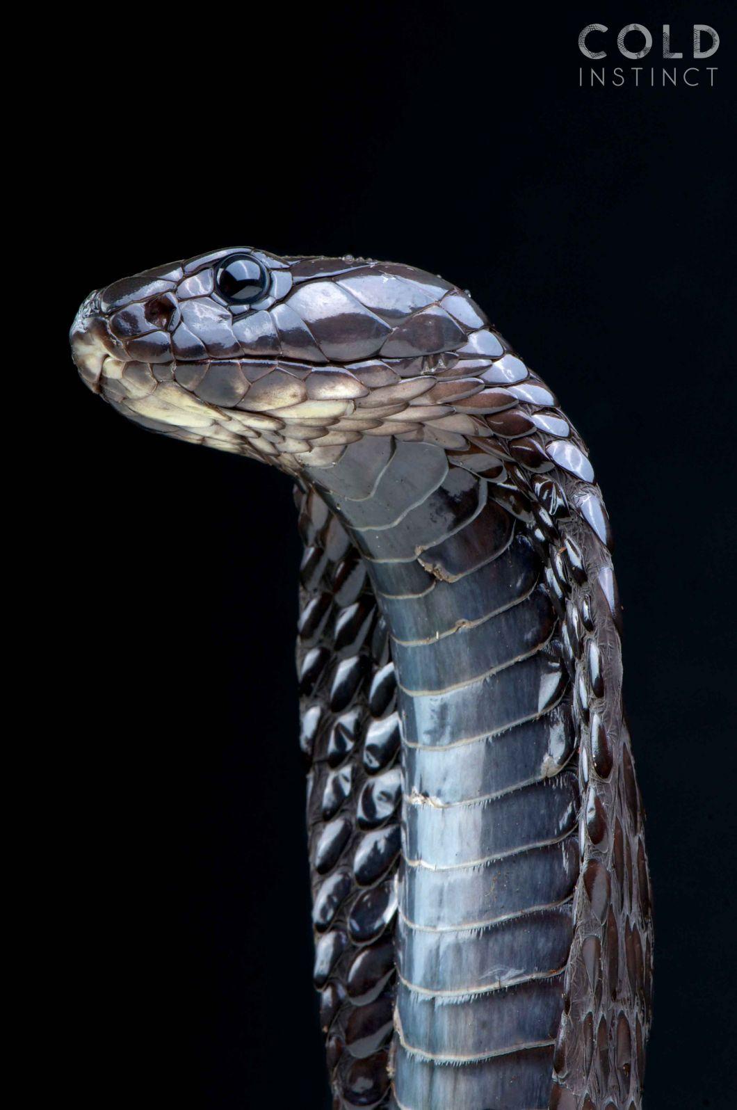 Le Serpent Le Plus Dangereux Du Monde : serpent, dangereux, monde, Reptiles, Venimeux, Monde, Slate.fr
