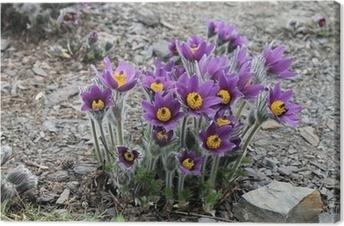 цветы колхицума