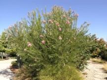 Desert Willow – Deciduous Tree Irrigation Requirement: Very Low