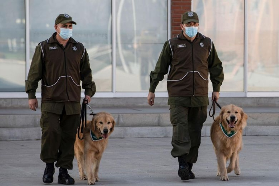 Chilean Police train dogs to sniff out Coronavirus