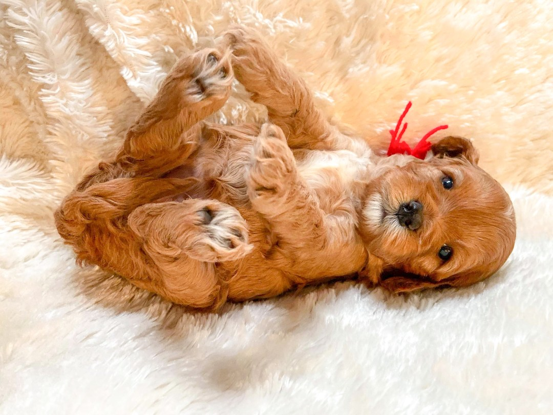 Ruby and White Cavapoo Puppy