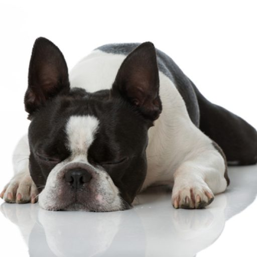cropped-sleepybostonterrier1.jpg