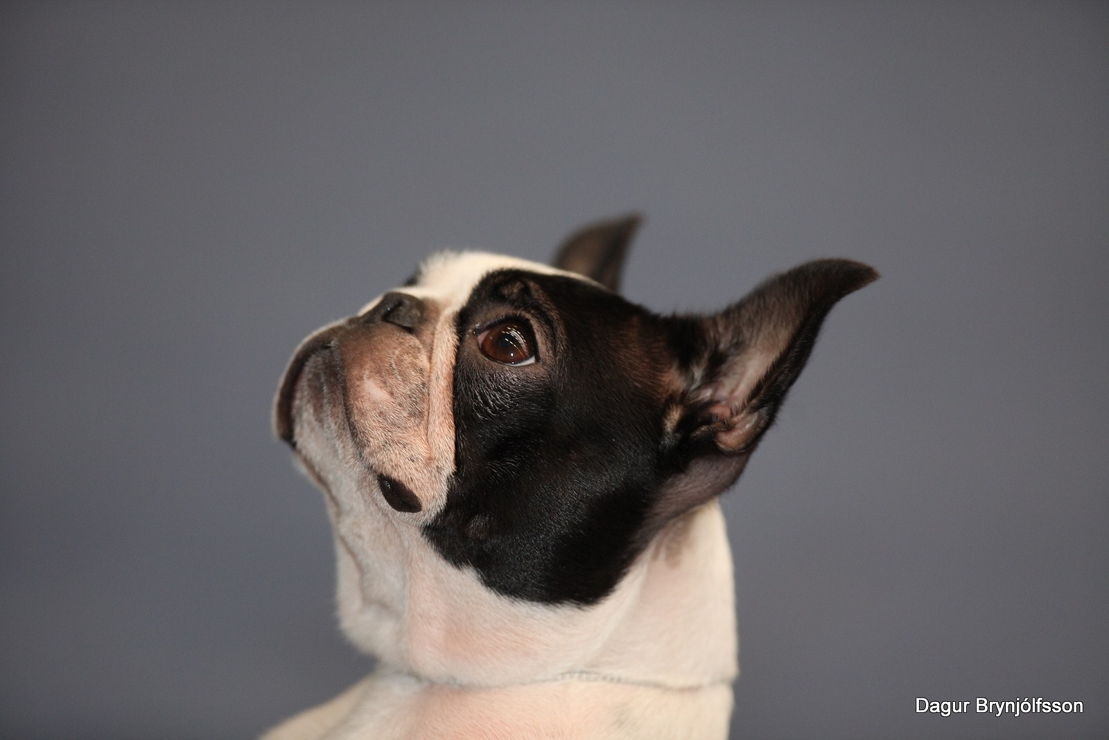 what's my name boston terrier base image