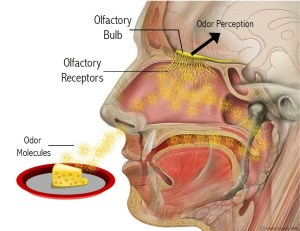 View inside a human head, showing the parts of the olfactory system