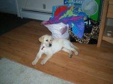 Bailey as a puppy