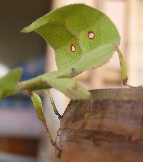 The Walking Leaf  Silliness  sliceofthaicom