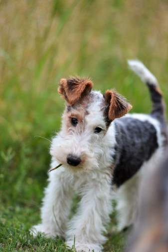 Cucciola di Fox terrier a pelo ruvido