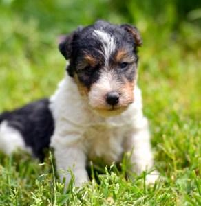 cuccioli di terrier