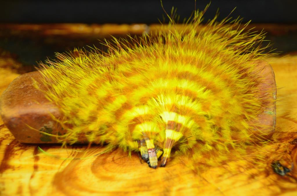 mfc barred marabou yellow brown