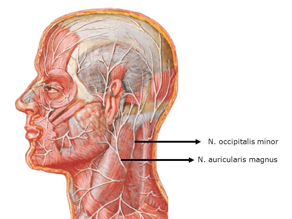 n auricularis magnus