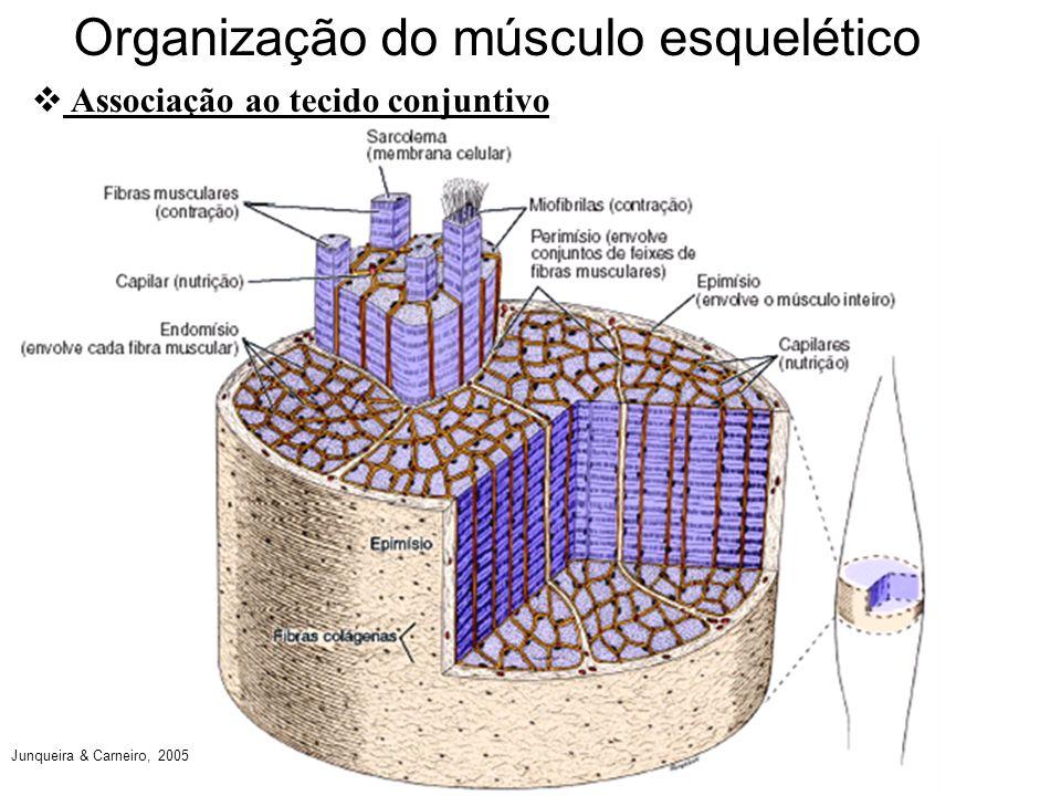 Tecido muscular Jorge Clarncio Andrade  ppt carregar