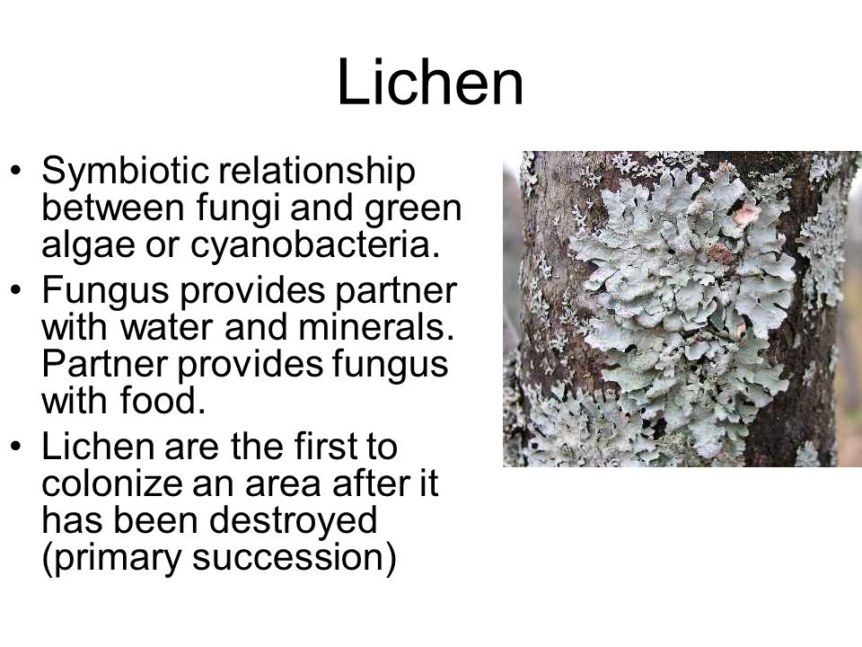 Lichen: The Threesome