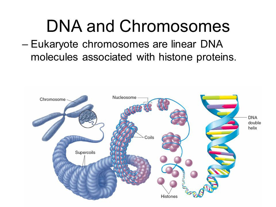 Chromatin Dna Helix Diagram