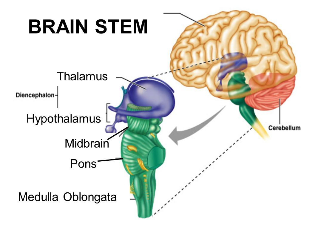 brain diagram pons holley 650 carburetor stem midbrain pictures to pin on pinterest pinsdaddy
