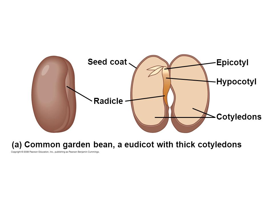 monocot seed diagram 2008 mitsubishi lancer stereo wiring structure and germination - ppt video online download