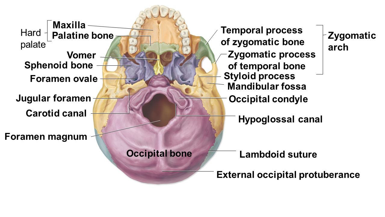 Fancy Zygomatic Process Gallery - Human Anatomy Images ...