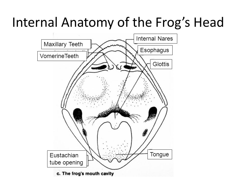 frog head diagram labeled 2008 chevy malibu wiring leopard scientific name - rana pipiens classification ppt video online download