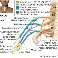 Upper Arm Muscles Diagram Yamaha 650 Wiring Chapter 16 Spinal Cord And Nerves - Ppt Video Online Download