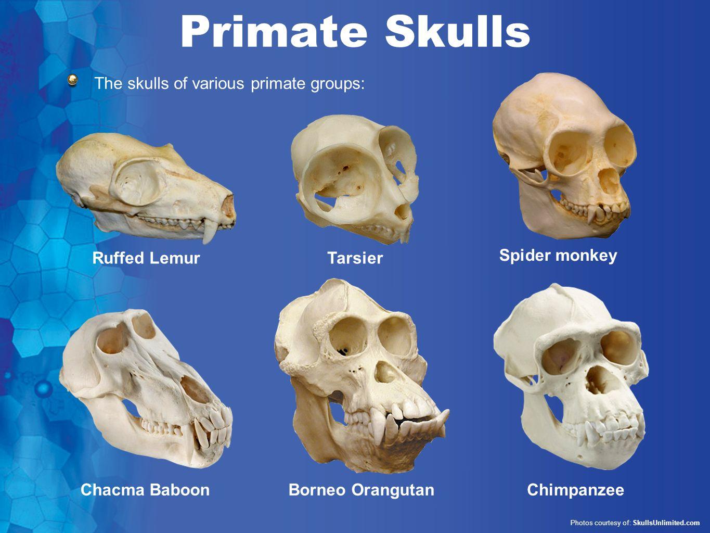 chimpanzee skull diagram five way switch wiring human evolution series set 1 ppt video online download