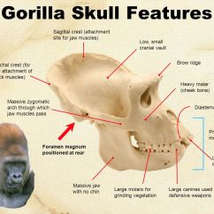Chimpanzee Skull Diagram 2003 Ford Expedition Radio Wiring Related Keywords And Suggestions