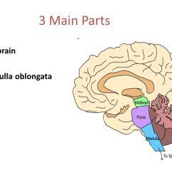 Brain Diagram Pons 2001 Dodge Durango Trailer Wiring Human Medulla