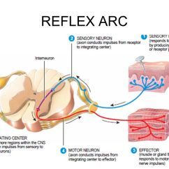 Diagram Of A Simple Reflex Arc 240sx Alternator Wiring Reflex. - Ppt Video Online Download