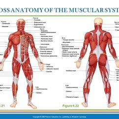 Upper Arm Muscle Diagram Human Big Tex 22gn Trailer Wiring Gross Anatomy Of The Muscular System - Ppt Video Online Download