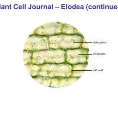 Elodea Leaf Cell Diagram Suburban Rv Furnace Wiring Schematic Best Site Harness Journal - Plant Cells (eoldea) Ppt Video Online Download