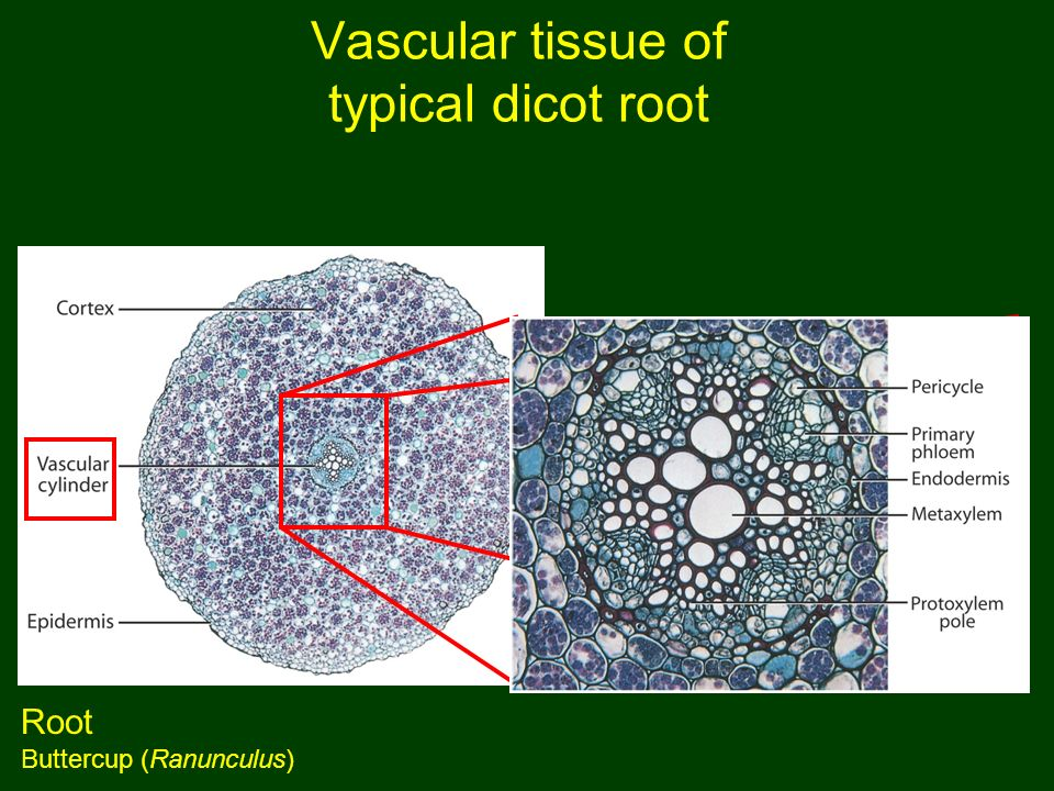dicot root diagram 3 phase isolator switch wiring monocot vs. angiosperms are divided into monocots and dicots - ppt video online download