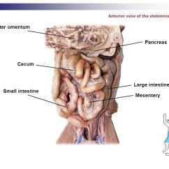 Pancreas Anatomy Diagram Stereo Volume Control Wiring Cat Dissection Digestive Labs. - Ppt Video Online Download