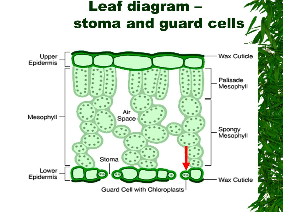 mesophyll cell diagram hopkins 48510 wiring plant guard great installation of stomata bing images cells 3d model