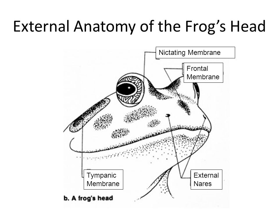 labeled frog anatomy diagram 2004 saturn ion engine body parts and functions - ppt video online download