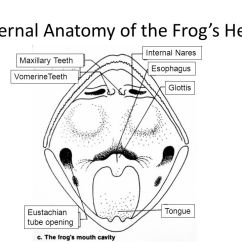 Labeled Frog Anatomy Diagram 2006 Pontiac G6 Gt Wiring Body Parts And Functions - Ppt Video Online Download
