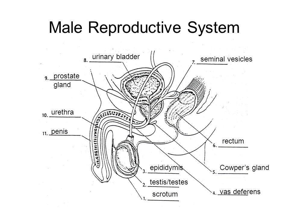 Repro Male Horse Reproductive System Diagram