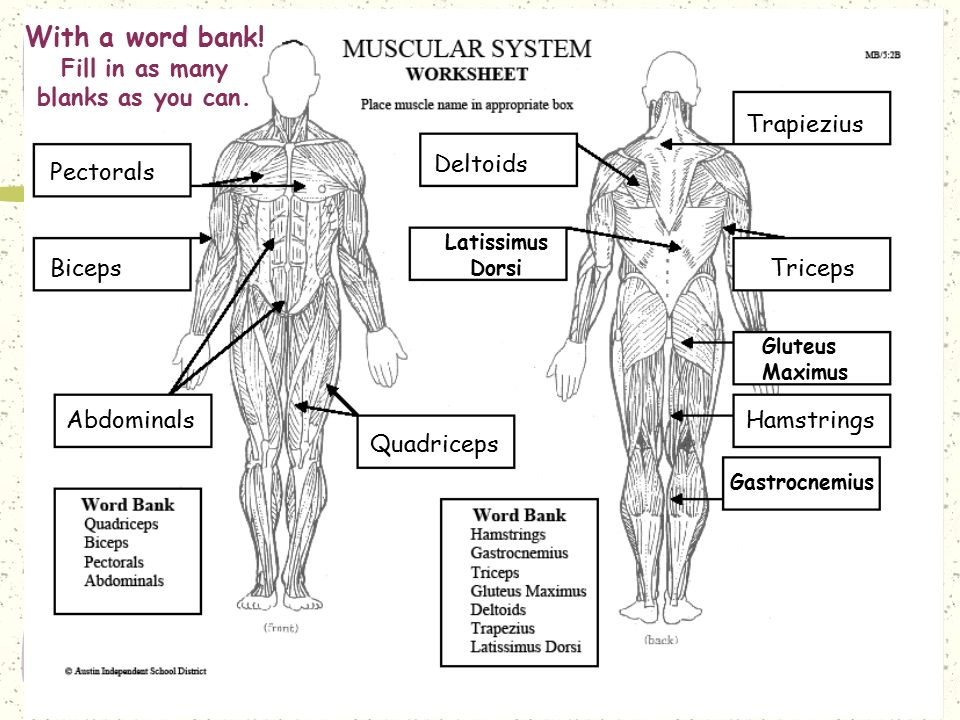 Muscular System 7th Grade Science Worksheet. Muscular