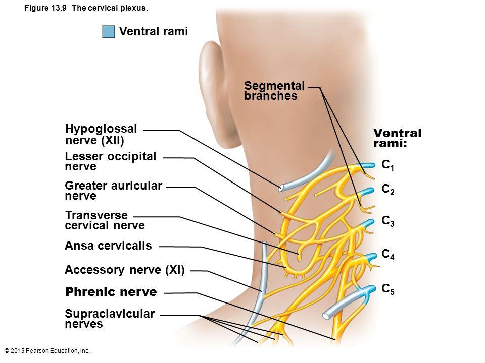 Cutaneous Sensory Nerve