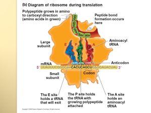 TRANSCRIPTION AND TRANSLATION & GENETIC CODE  ppt download