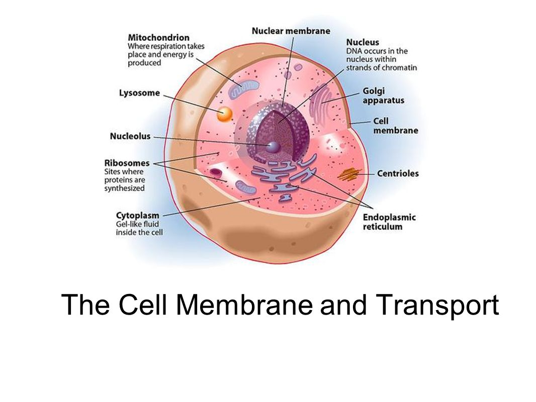 The Cell Membrane And Transport