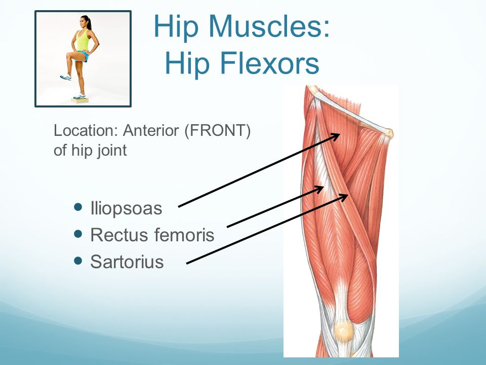 Adductor Magnus Anterior Hip And Thigh Muscles