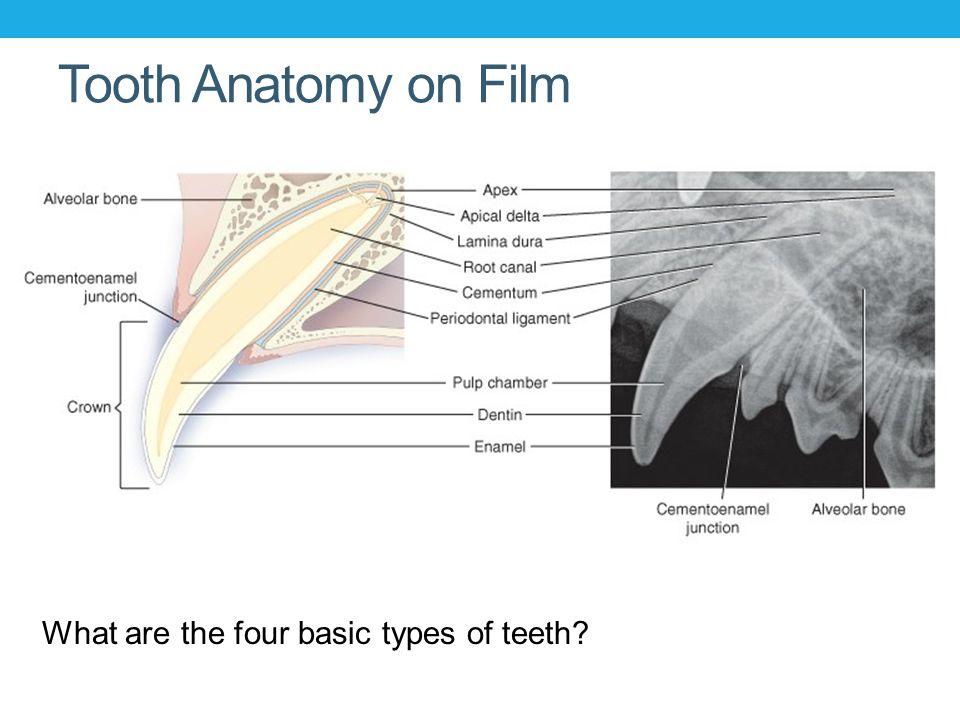 Anatomy Of Lower Teeth Dogs