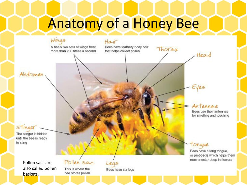 bumble bee diagram 2 4 ohm subwoofer wiring labelled of a honey 28 images