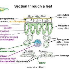 Mesophyll Cell Diagram Stx38 Wiring Leaf Structure Ppt Download