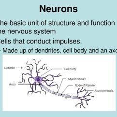 Basic Neuron Diagram Elk Anatomy The Nervous System Ppt Video Online Download