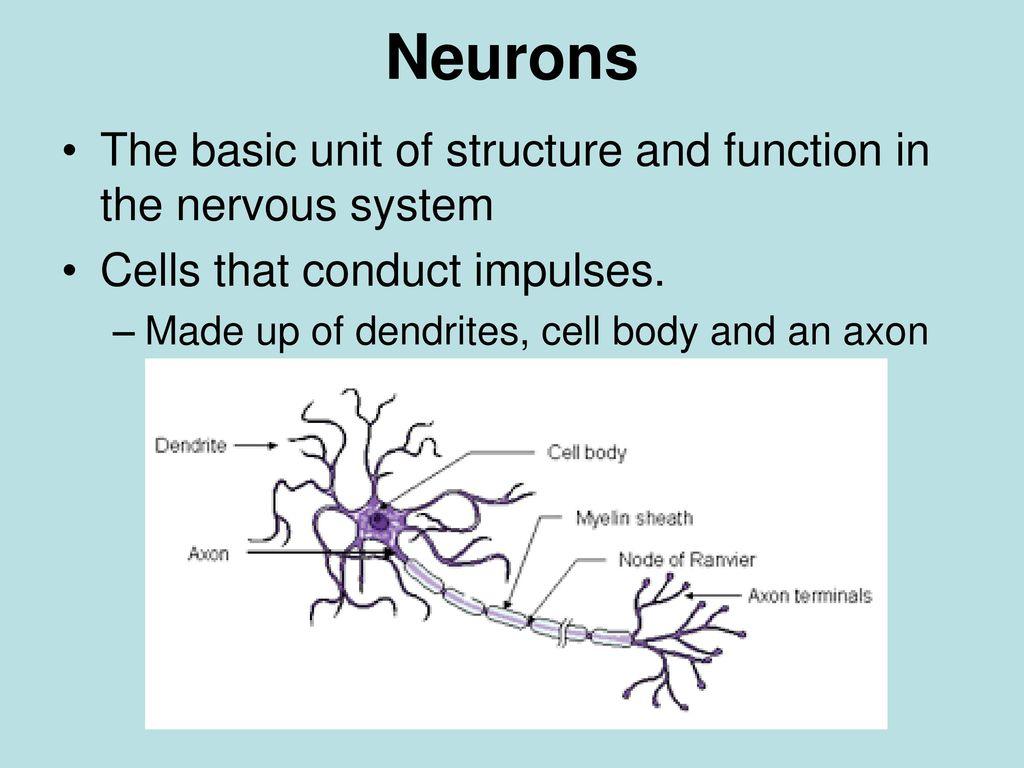 basic neuron diagram volkswagen golf mk1 wiring the nervous system ppt video online download