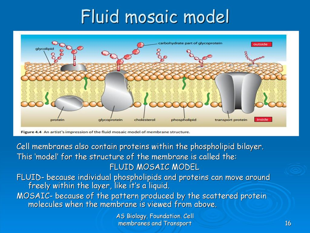 diagram of fluid mosaic model cell membrane protist labeled as biology foundation membranes and transport ppt