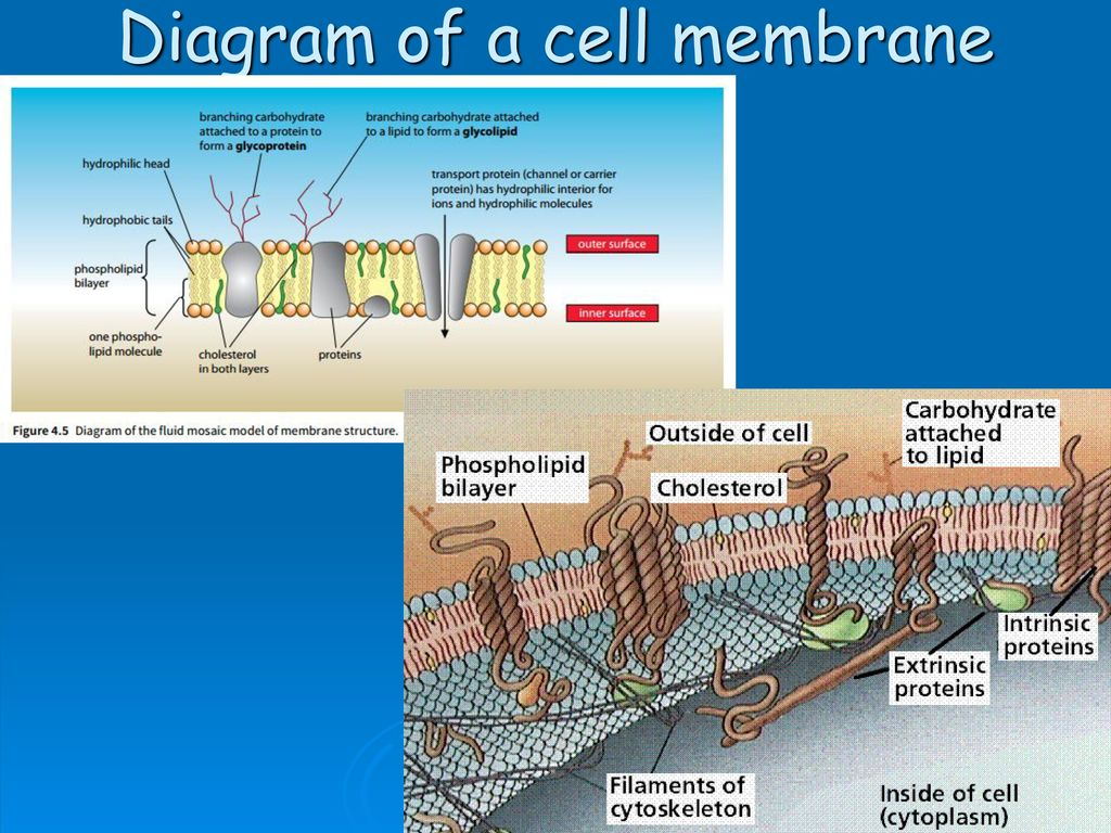 diagram of fluid mosaic model cell membrane doorbell schematic as biology foundation membranes and transport ppt